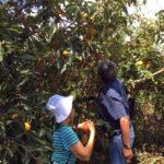 Fazenda Agua da Capoeira Colhe e Pague Caqui Fuyu 08
