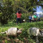 Fazenda Agua da Capoeira Colhe e Pague Caqui Fuyu 11